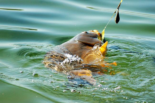 Sobald der Herbst beginnt, lassen sich die Karpfen leicht an den Haken bekommen und liefern heiße Drills.