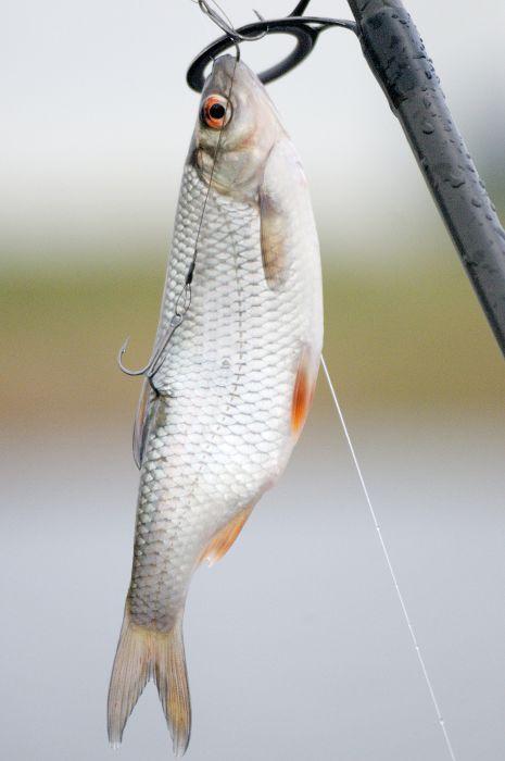 Anköderung zum Schleppfischen: Der vordere Drilling durch das Maul und der hintere in den Rücken.
